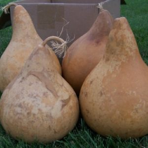 "Martin (kettle) Gourd (7""- 8"" diameter)  medium"