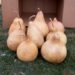 Box of 8 Bird House Gourds