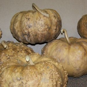 Hard Shelled Pumpkin-Box of 4