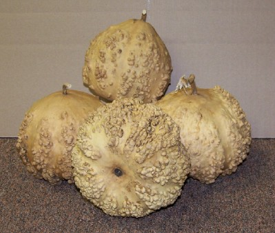 Warty Gourd