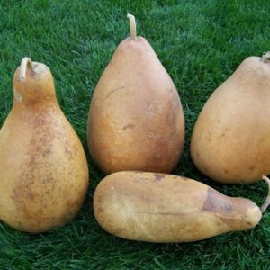 "Milk Bottle Gourd (5"" - 7"" diameter) medium"