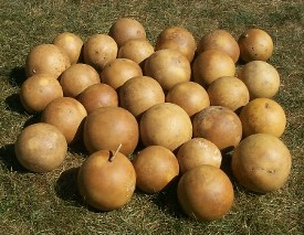 "Cannonball Gourd 5-6"" diameter Box of 8, blemished"