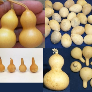 "3 Mini bottle gourds Good Shape dry and clean 2.5/"" high"
